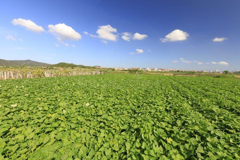 Endless taro fields, adobe rgb. Taro field in village of xiangan district, xiamen city, fujian province, china. harvest is in sight royalty free stock photos