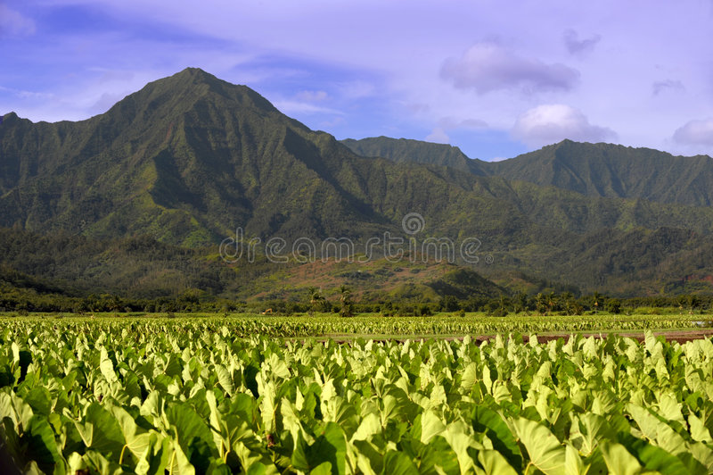 Taro Fields stock image