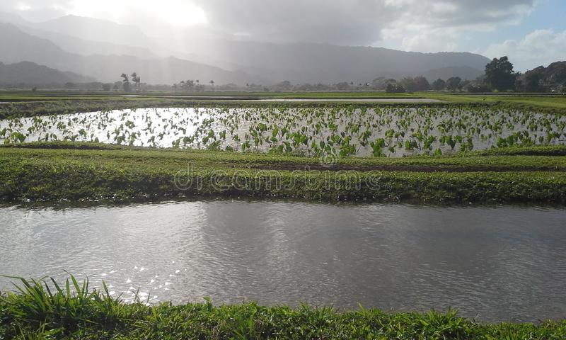 Taro Fields stockbilder