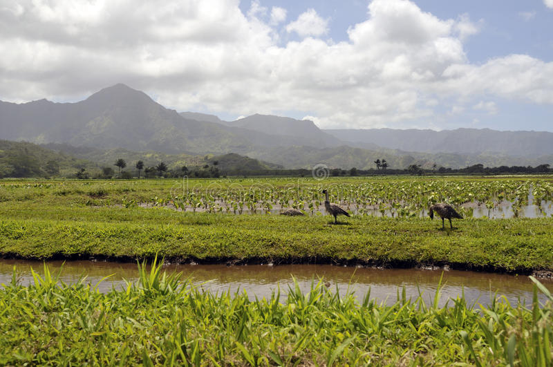 Taro fields in the island of Kauai stock images