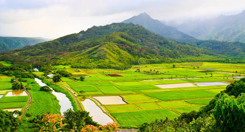 Download Taro Fields in Kauai stock photo. Image of exotic, harves - 20309902
