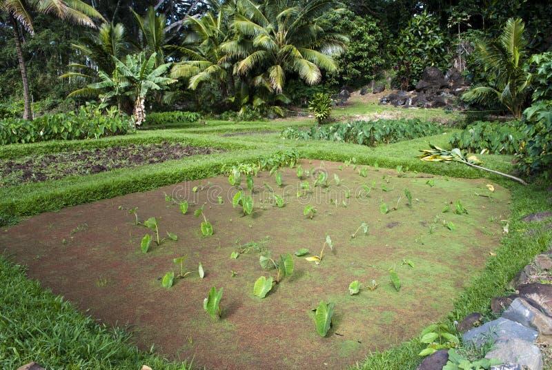Taro Or Kalo Loi Pond Oahu Hawaii Stock Image Image Of