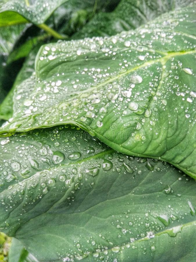 Taro leaf in rain season royalty free stock photos