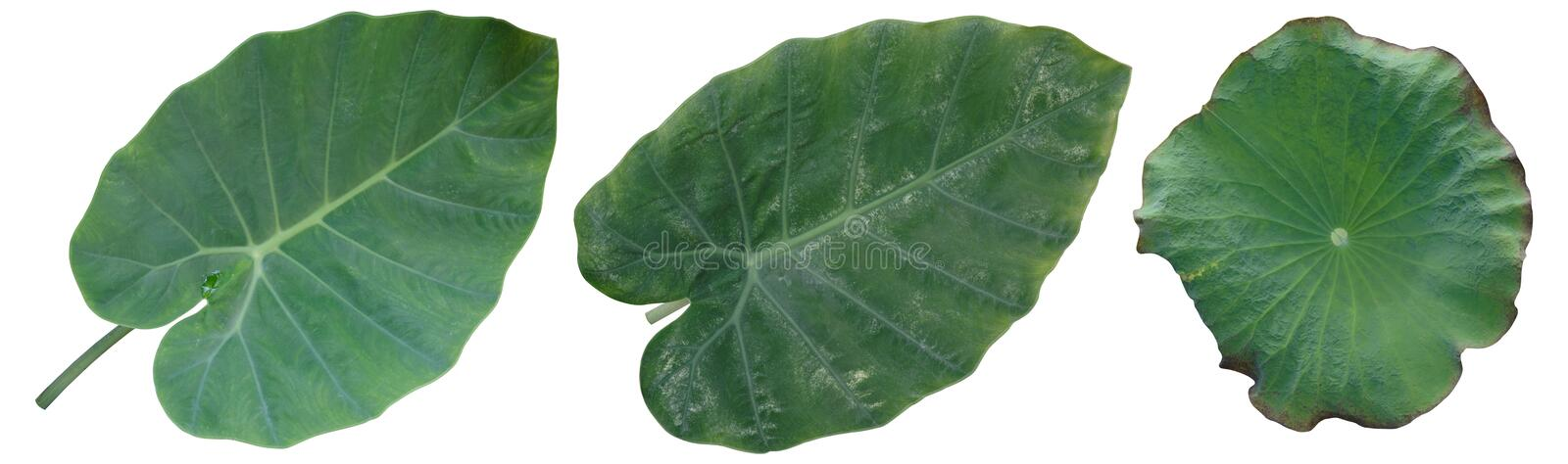Taro leaves, lotus leaves isolated on white background. Clipping path stock images