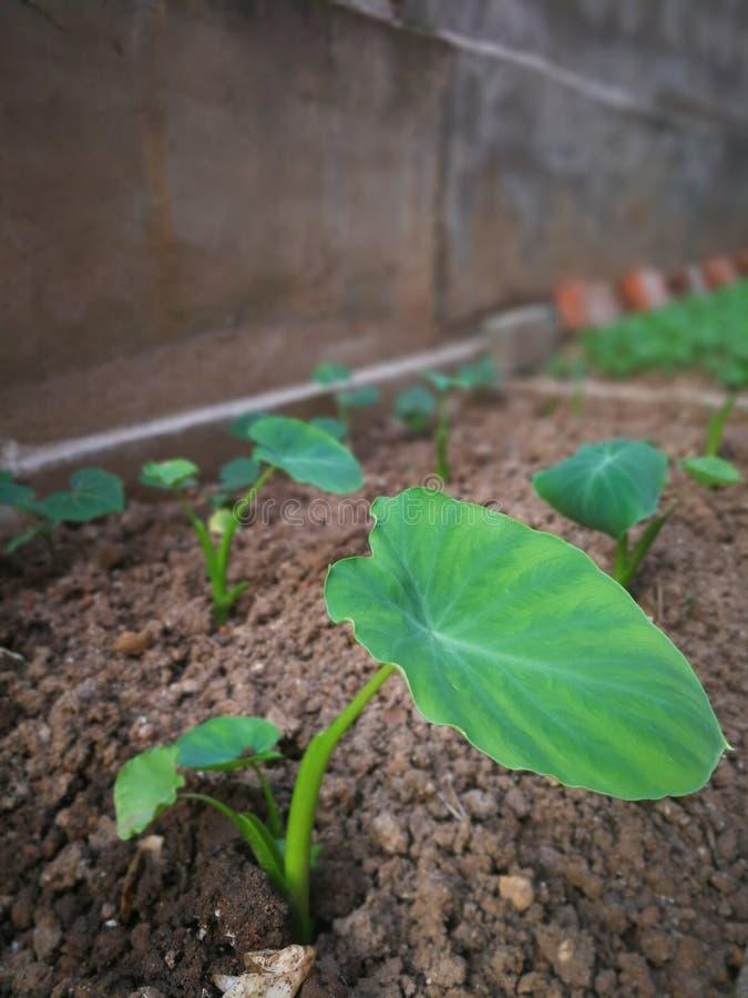 Taro Plants stock afbeelding