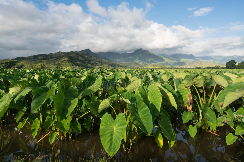 Taroinstallaties in Hanalei-Vallei in Kauai stock afbeelding