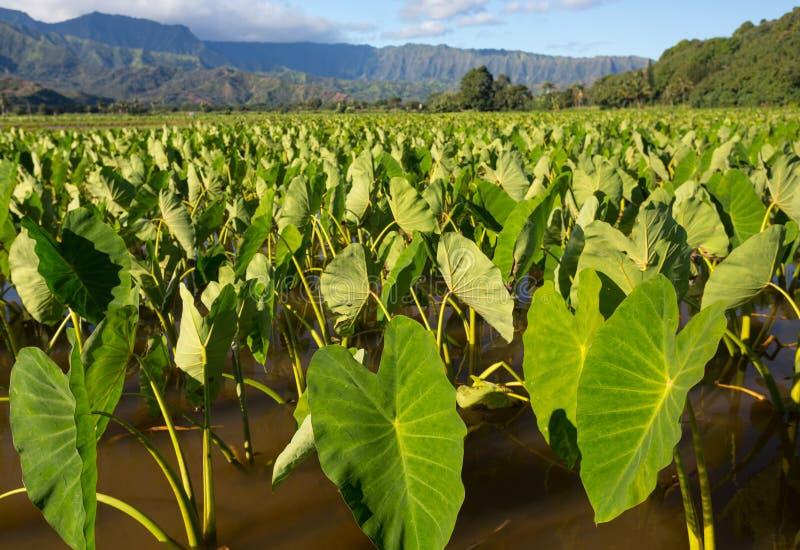 Taroinstallaties in Hanalei-Vallei op Kauai royalty-vrije stock afbeelding