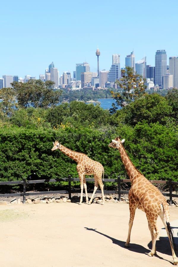 Taronga för två giraff @ zoo Sydney arkivbild