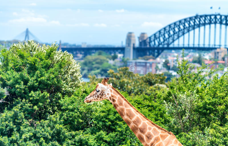 Taronga Zoo, Sydney. Giraffe and city background stock photography