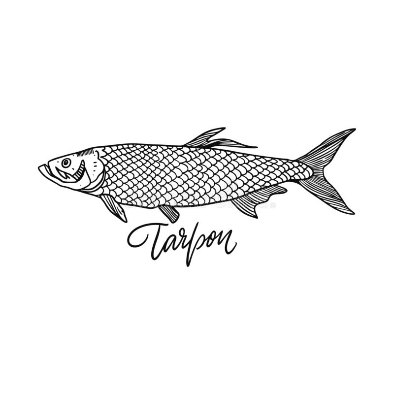 Tarp?n de los pescados Ilustraci?n drenada mano del vector Estilo del grabado Aislado en el fondo blanco libre illustration