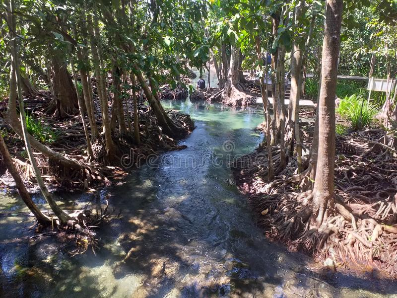 Tarpom mongroveforest krabi thailand cleanwater royalty free stock photo