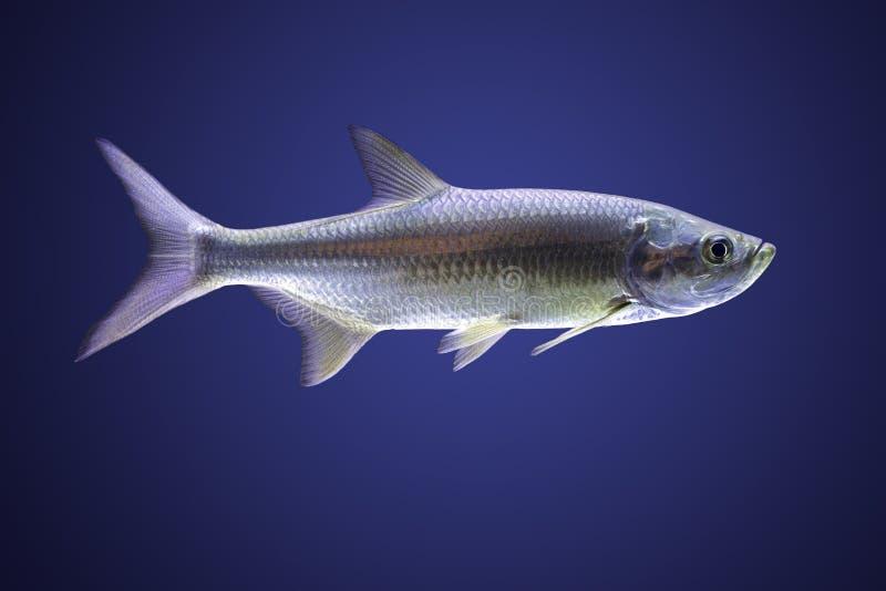 Tarpon atlantique (cyprinoides de Megalops) photos libres de droits