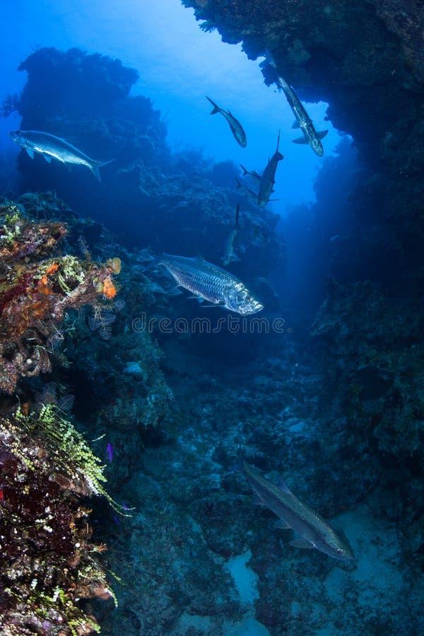 Tarpon atlantique dans la grotte submergée images libres de droits