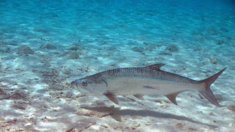 Tarpon dans Bonaire image stock