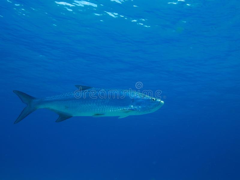 Tarpon. Large tarpon cruising just below the surface of the electric blue Caribbean sea. Bonaire, Netherlands Antilles royalty free stock photo