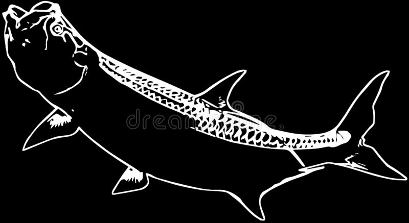 Tarpon saltwater fishing on black background. Tarpon is prized as game fish, being known for their great fighting abilities stock illustration