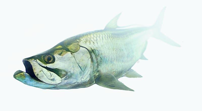 Tarponfische lokalisiert auf weißem backgrorund - Fliegenfischen lizenzfreie abbildung