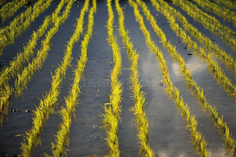 Tarrace de riz photo stock