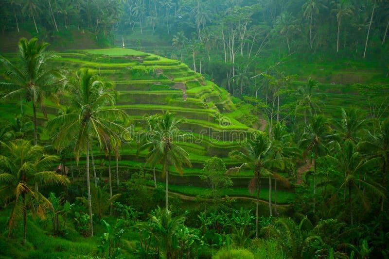 Tarrace do arroz em Bali, Indonésia. imagem de stock royalty free