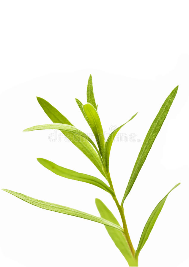 Download Tarragon stock image. Image of herb, dracunculus, estragon - 24609489