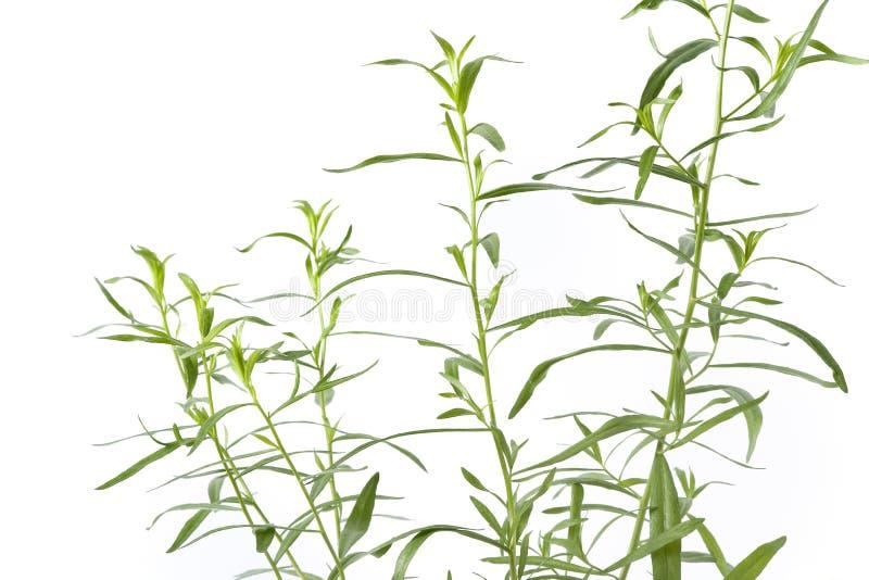 Tarragon, Artemisia Dracunculus stock photos