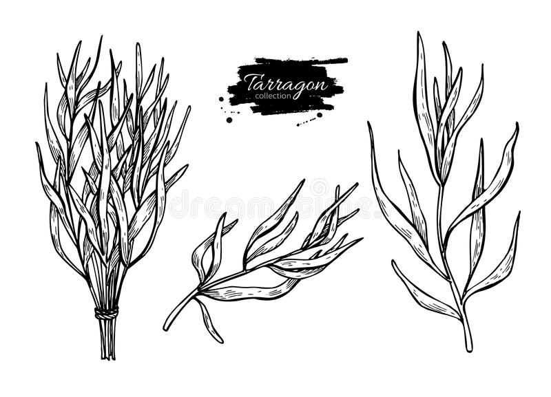 Tarragon vector hand drawn illustration set. Isolated spice object. Engraved style seasoning. Detailed organic product sketch. Cooking flavor ingredient. Great stock illustration