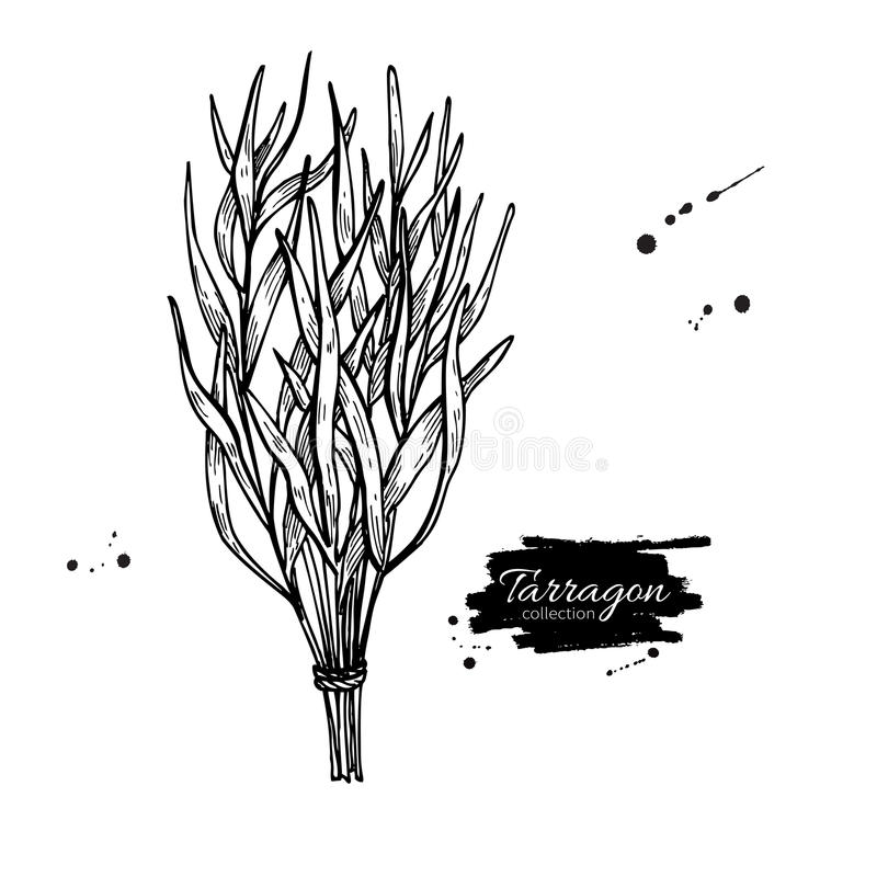 Tarragon vector hand drawn illustration. spice object. Engraved style seasoning. Detailed organic product sketch. Cooking flavor ingredient. Great for label vector illustration