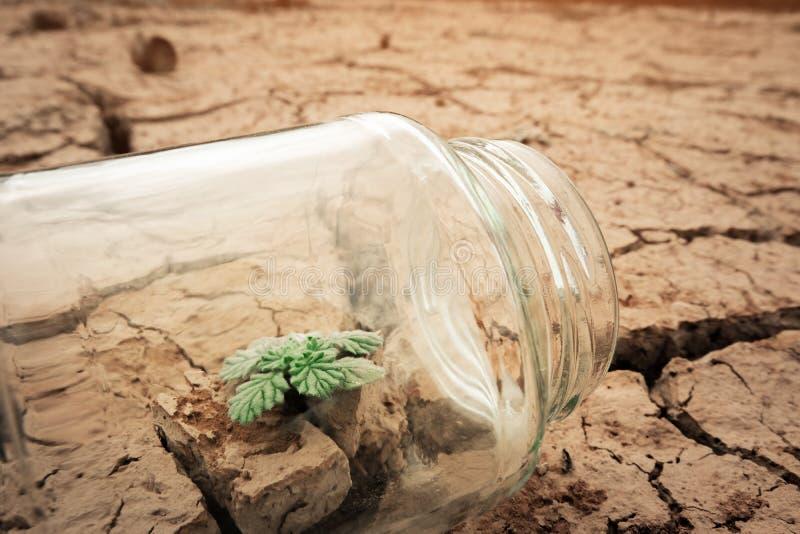Tarro de cristal miniatura con el almácigo joven del árbol que crece en suelo, en la tierra vacía seca y de la grieta del fondo fotografía de archivo