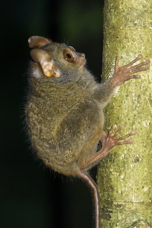 Tarsier在Tangkoko国家公园,北部苏拉威西岛,印度尼西亚 库存图片