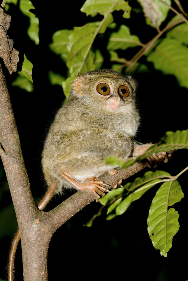 tarsier的tangkoko 库存照片