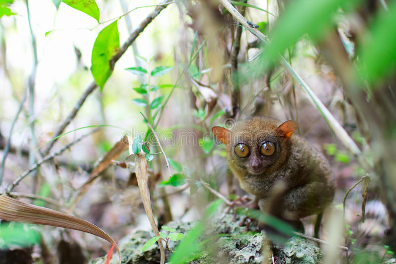 Download Tarsier stock image. Image of funny, nature, tarsier - 13719631