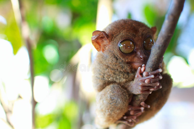 Tarsier. Smallest primate, in natural living environment royalty free stock image