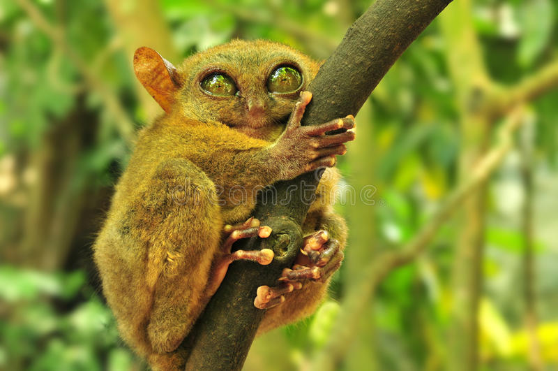 Tarsier. (Tarsius Syrichta), the world's smallest primate in Bohol, Philippines stock photography