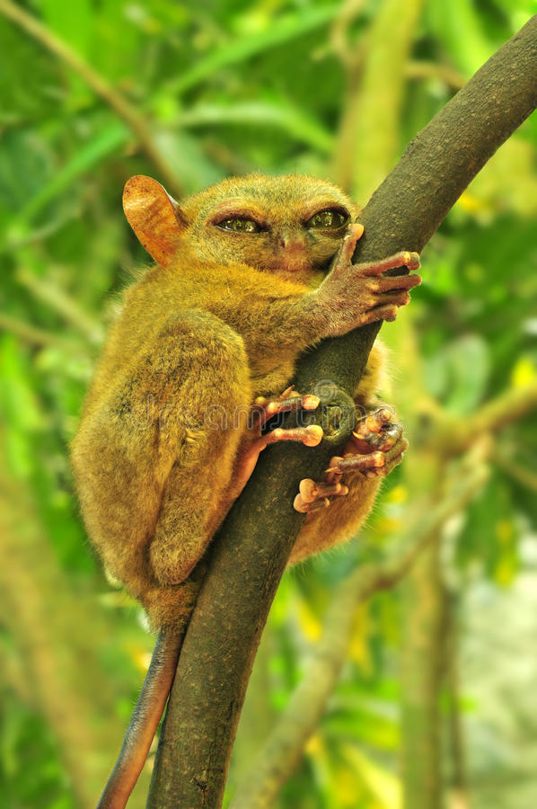 Tarsier. (Tarsius Syrichta), the world's smallest primate in Bohol, Philippines royalty free stock images