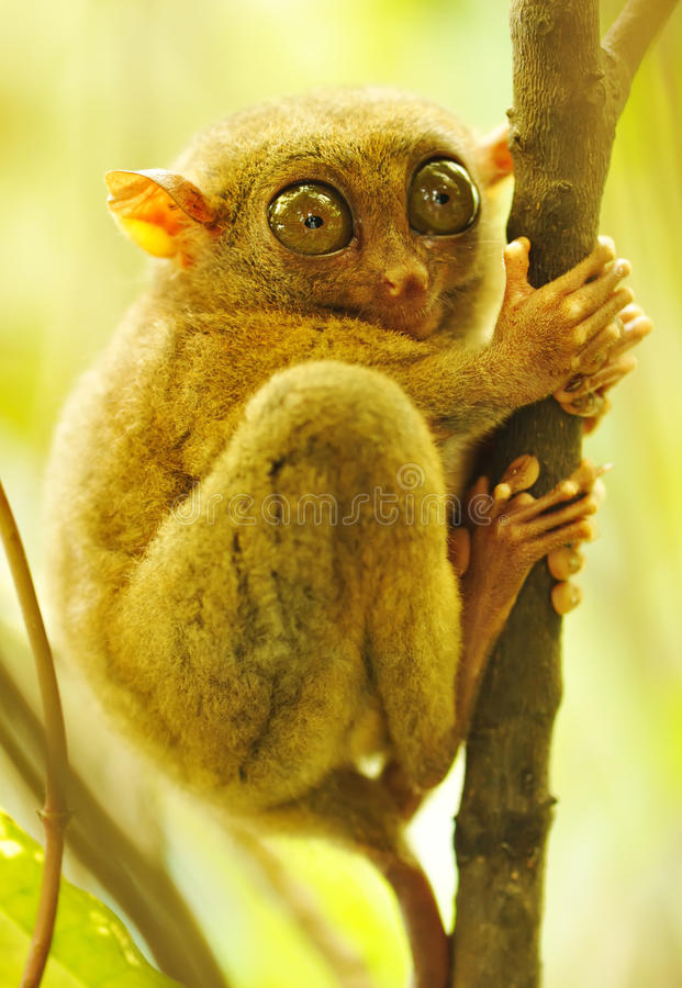Tarsier. Monkey in natural environment stock image
