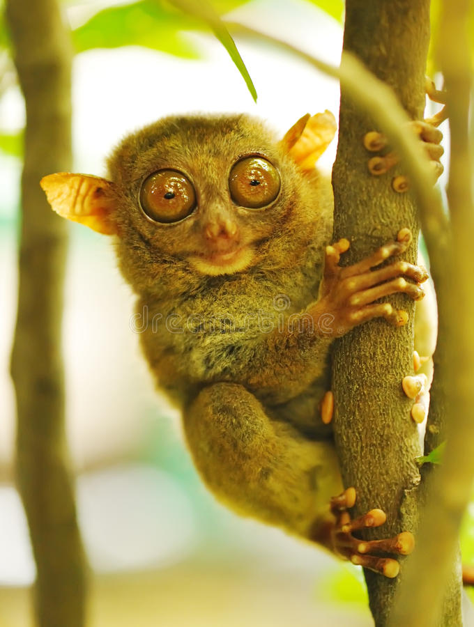 Tarsier. Monkey in natural environment stock images