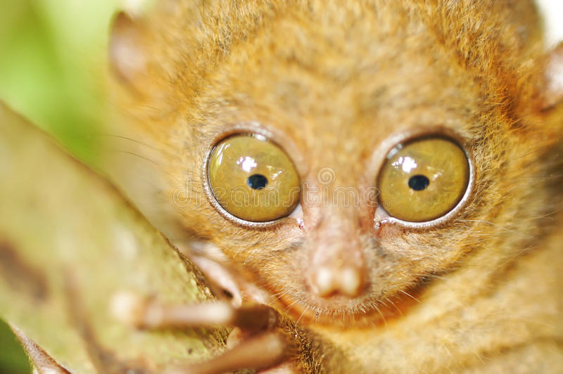 Tarsier. Monkey in natural environment royalty free stock photos