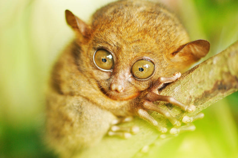 Tarsier. Monkey in natural environment royalty free stock images