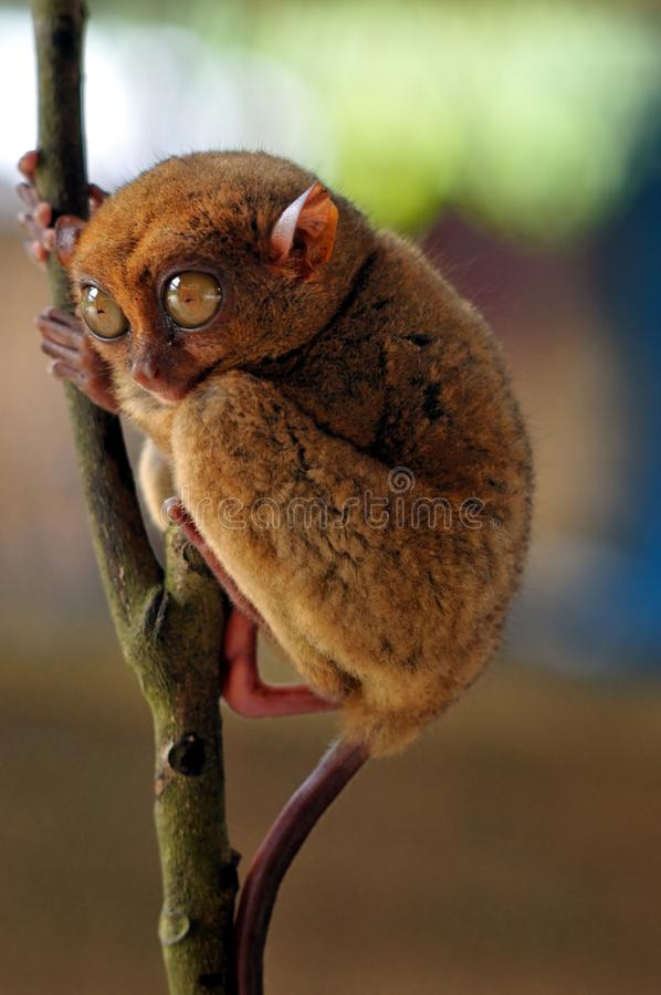 Tarsier. An endangered species, the tarsier has been Tarsiers are haplorrhine primates of the genus Tarsius, a genus in the family Tarsiidae, which is itself the stock image