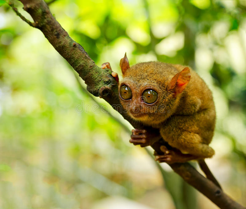 Tarsier. On the tree. Bohol island, Philippines stock images