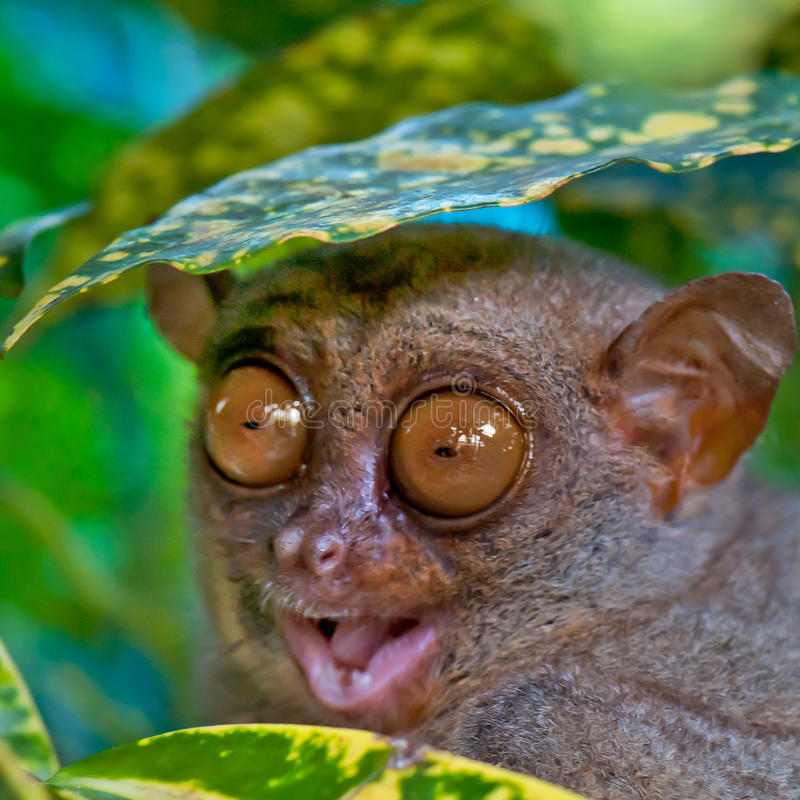 Tarsier. Close up of a Tarsier hiding under a leaf stock photography