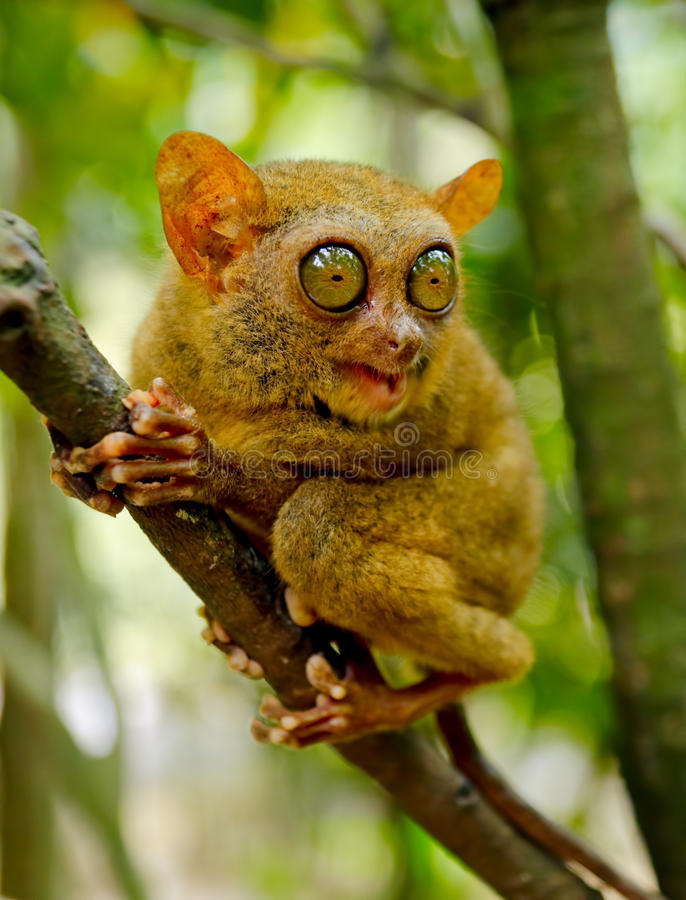 Tarsier photographie stock