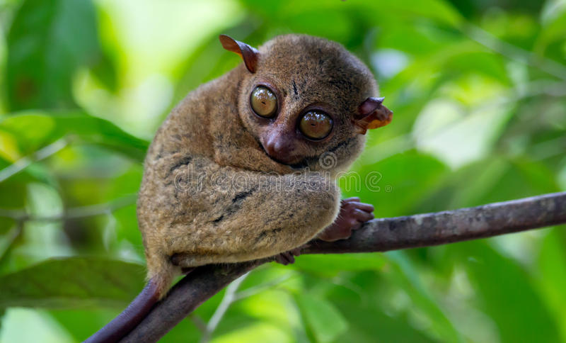 Tarsier. Tarsius Syrichta - The worlds smallest primate and the Philippine's protected primate royalty free stock photos