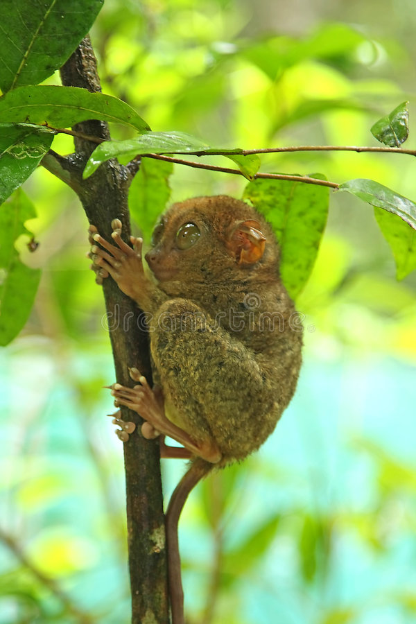 Tarsier. Photographed in Bohol, philippines royalty free stock photo