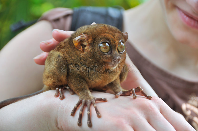 Tarsier. Smallest primate in the world royalty free stock photography
