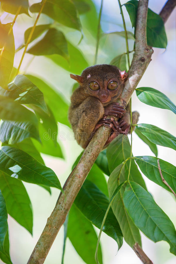 Tarsier Bohol, Philippines, closeup portrait, sits on a tree in the jungle. royalty free stock photography