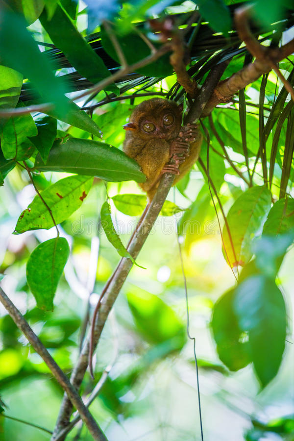 Tarsier Bohol, Philippines, closeup portrait, sits on a tree in the jungle. royalty free stock photos