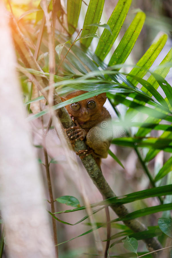 Tarsier Bohol, Philippines, closeup portrait, sits on a tree in the jungle. stock photos