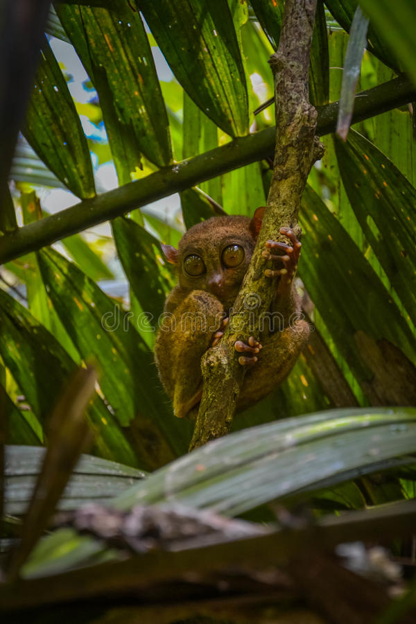 Tarsier in Bohol, Philippines royalty free stock photo