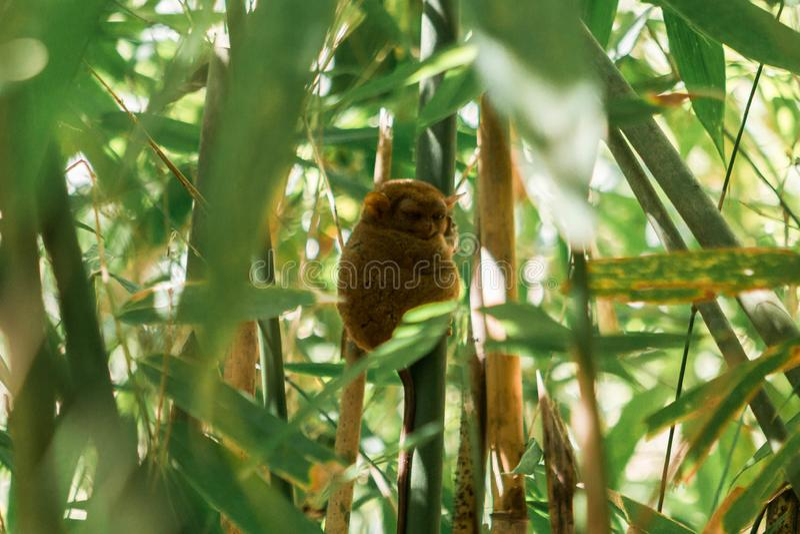 Tarsier in Bohol Tarsier sanctuary, Cebu, Philippines. The smallest primate Carlito syrichta in nature stock image